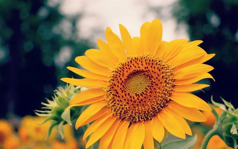 向日葵锁屏高清壁纸