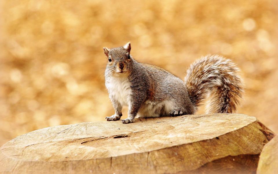 动物壁纸 森林里的可爱松鼠桌面壁纸下载   (6/15) 小箭头图标亲~快来