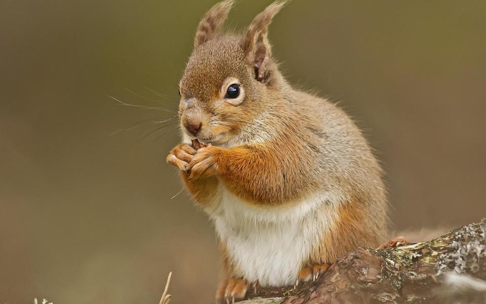动物壁纸 森林里的可爱松鼠桌面壁纸下载