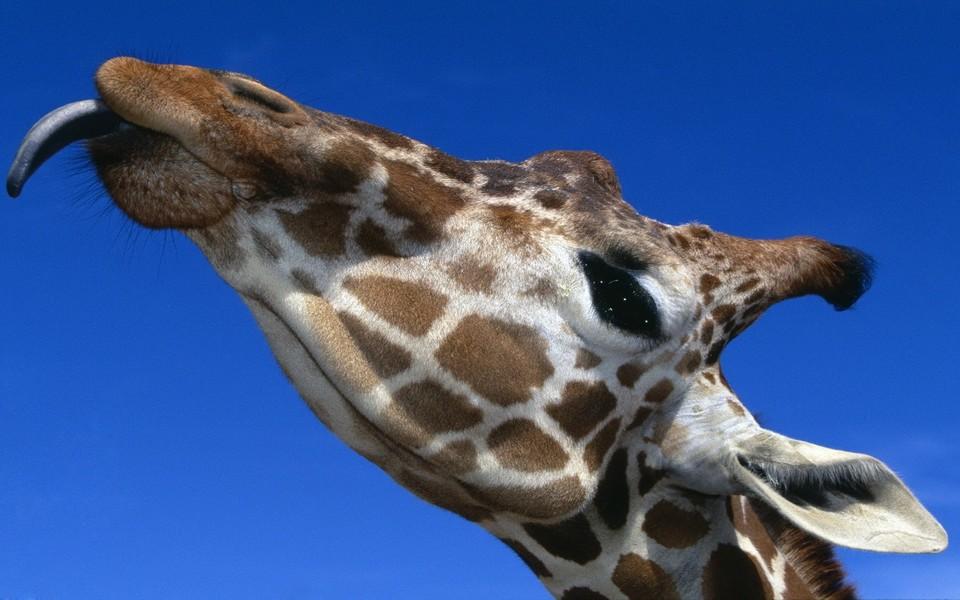 笔记本壁纸 动物壁纸 可爱卖萌的长颈鹿壁纸下载   (15/15) 小箭头