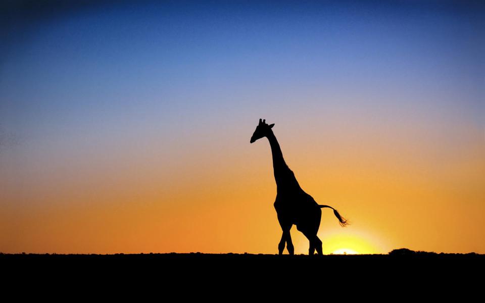 笔记本壁纸 动物壁纸 可爱卖萌的长颈鹿壁纸下载   (13/15) 小箭头
